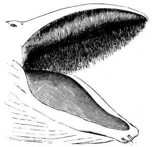 131021 barba de ballena
